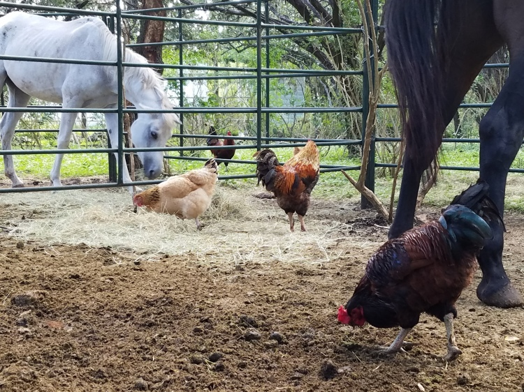 Chickens Cleaning Up After Horses